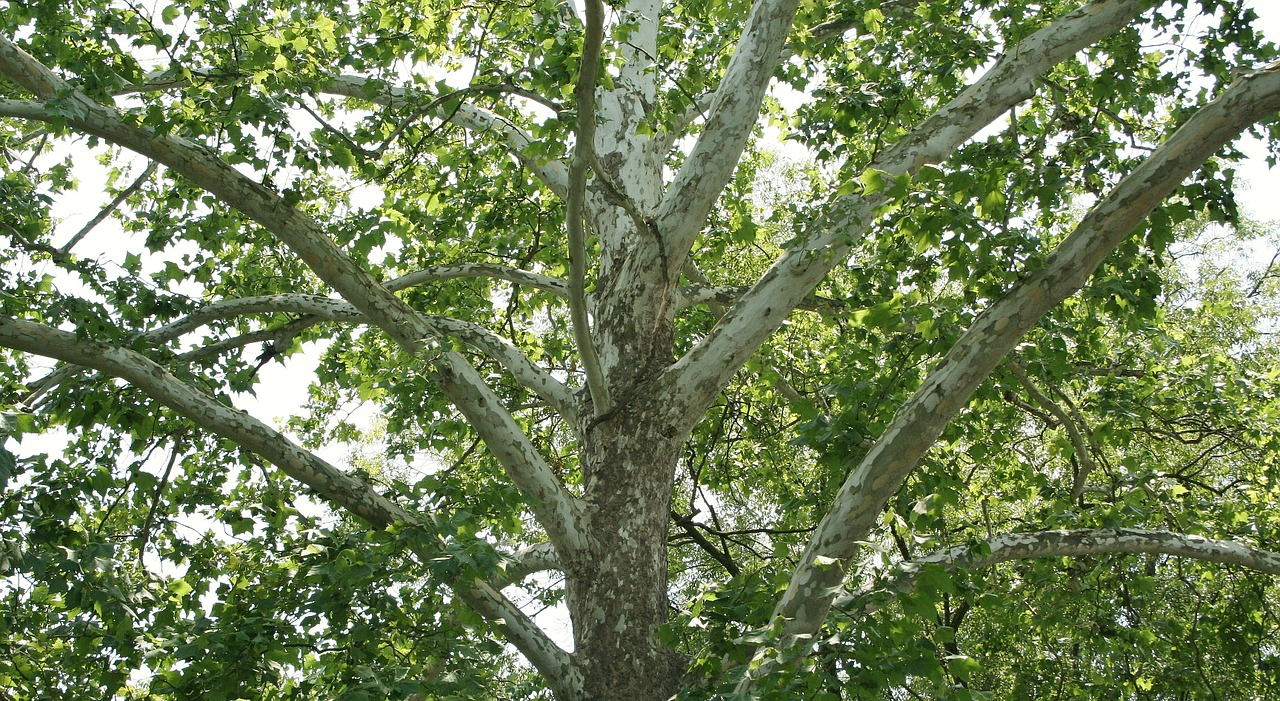 platane_arbre.jpg